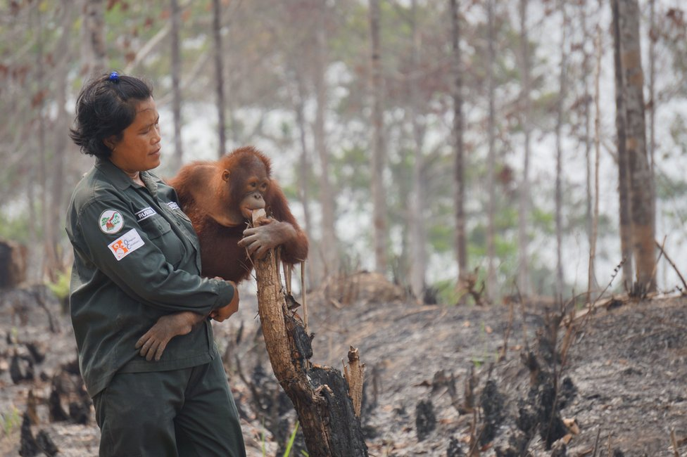 "This handout photo taken on 1 October 2015 and released on 9 October 2015 by the Borneo Orangutan Survival Foundation shows babysitter Rusdiani (L) holding baby orangutan Sali in the remaining area once called ""the Arboretum"", a 159-hectare bit of land planted with various species of trees for the purpose of research and preservation at the Samboja Lestari Orangutan Reintroduction Program in Samboja, in Indonesia's East Kalimantan."