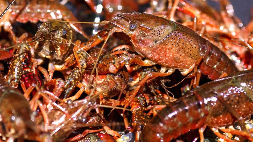 Crayfish captured on 8 May 2018