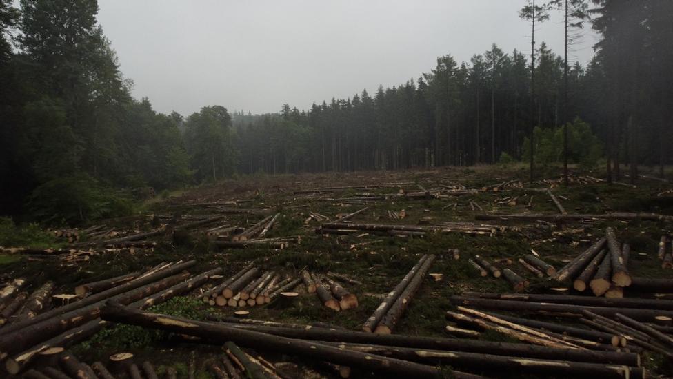 El cambio climático es causante de la devastación originada por un escarabajo que perfora y destruyer árboles en la región de Harz.