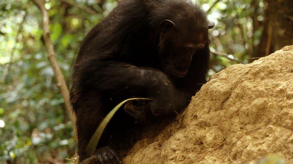 Šimpanza štapom vadi termite iz mravinjaka
