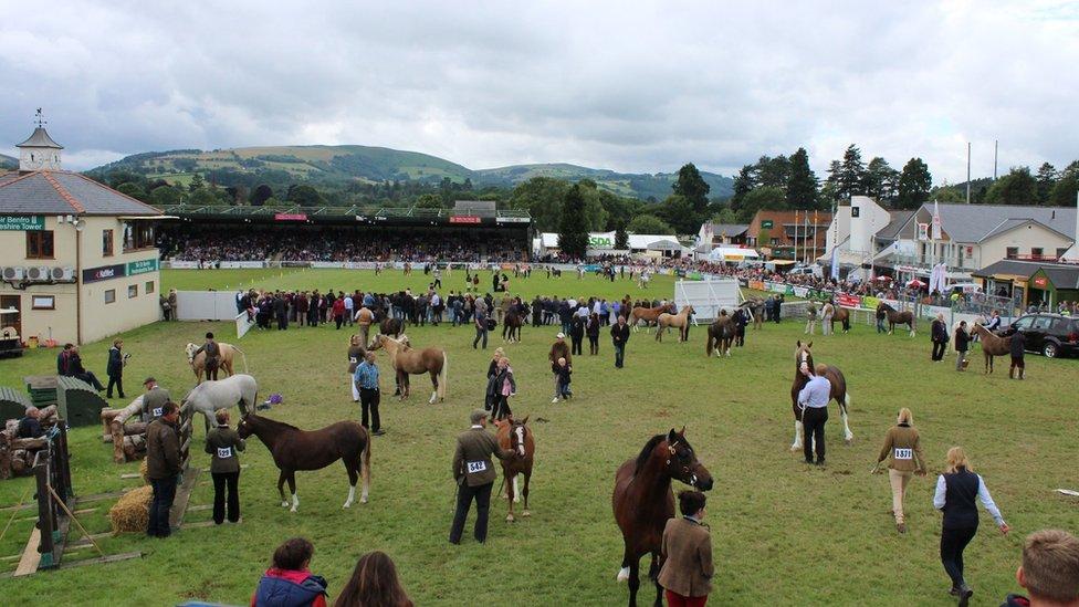 Y Cobiau Cymreig yn paratoi i fynd mewn i'r Prif Gylch // Some Welsh Cobs prepare to enter the Main Ring