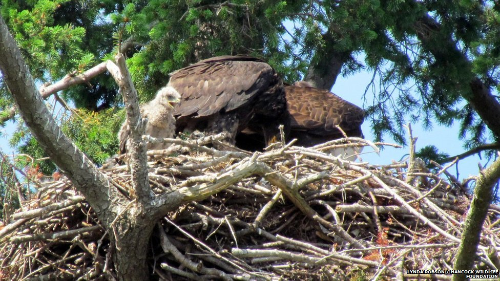 Baby red-tailed hawk in bald eagle's nest