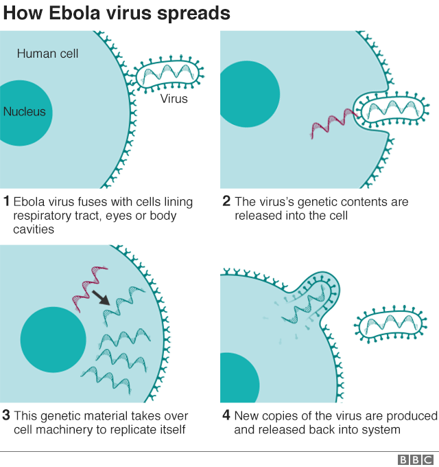 Infographic showing how the Ebola virus spreads