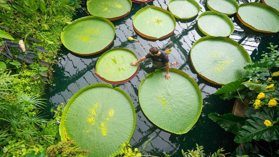 邱園中養殖的世界最大的蓮花——亞馬遜王蓮Victoria Amazonica