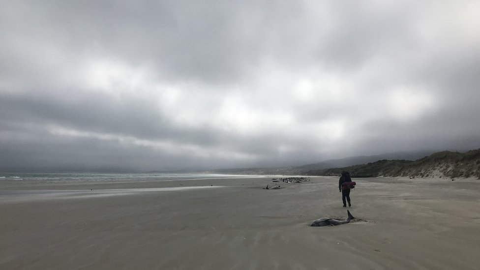Ballena varada en Nueva Zelanda