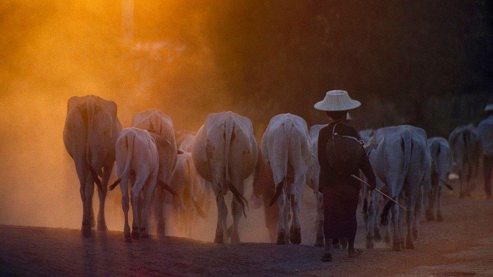 泰國猜也奔府一位牧牛人在放牛(資料圖片)