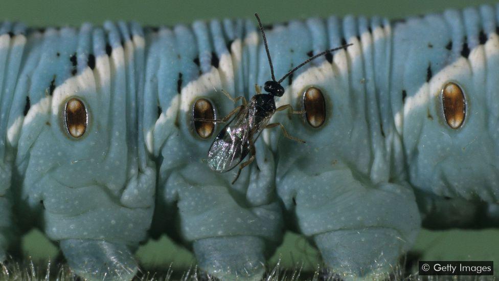 Una avispa parásita en una oruga