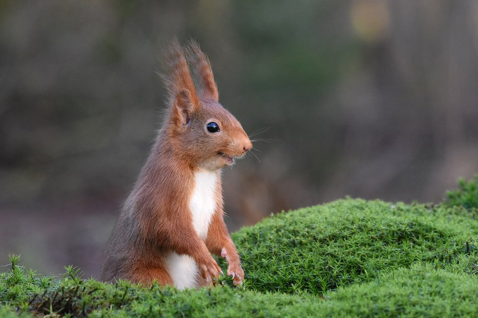 A red squirrel appearing to be chortling
