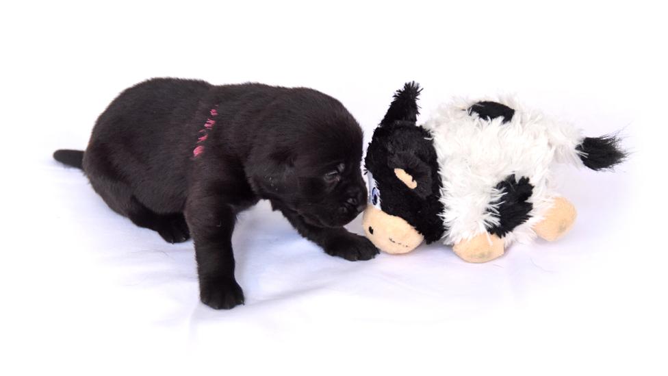 Štene crnog labradora se mazi sa plišanom kravom