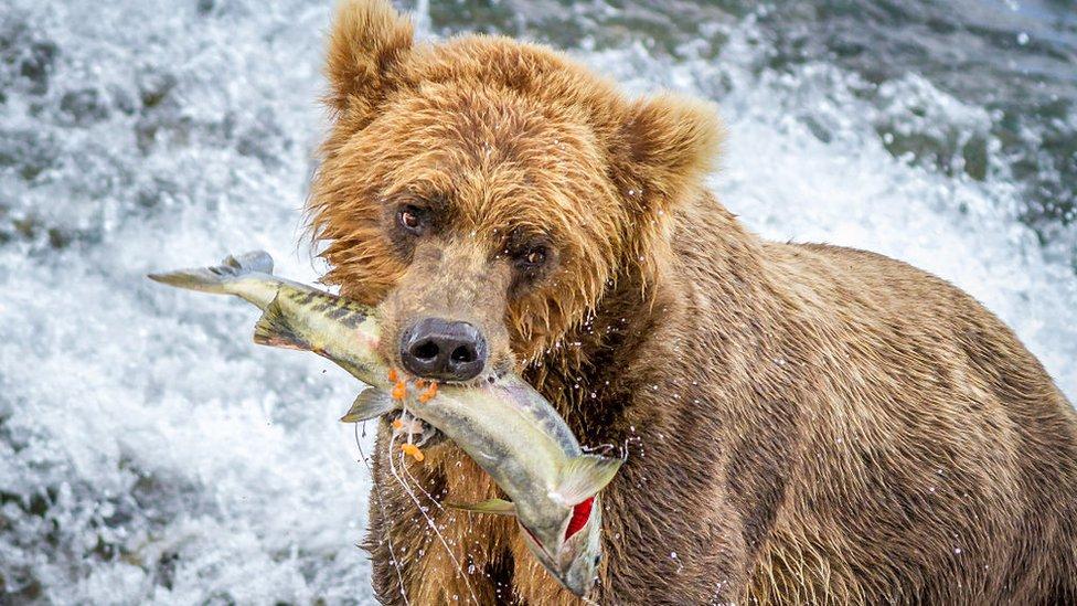 Un oso