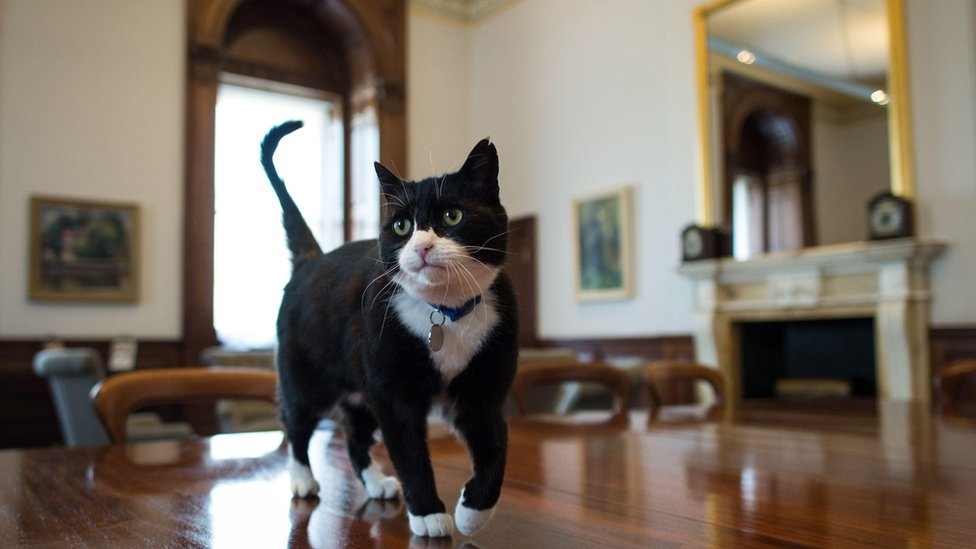 Foreign Office cat Palmerston on his first day in his new office (13 April 2016)