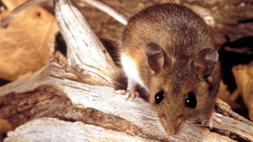 Ratón silvestre.
