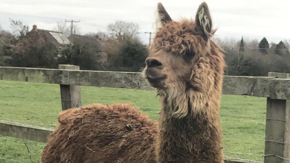 Alpaca 'Ed Sheeran' had eye gouged out in second animal killing