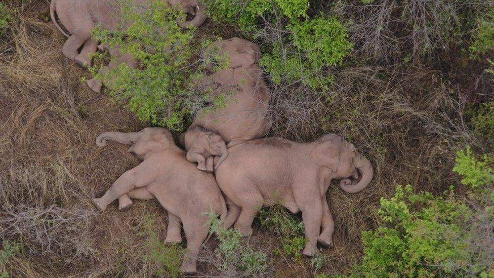 Elefantes durmiendo