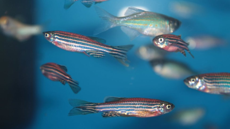 Scientists hope fish clues aid spinal cord injury treatment