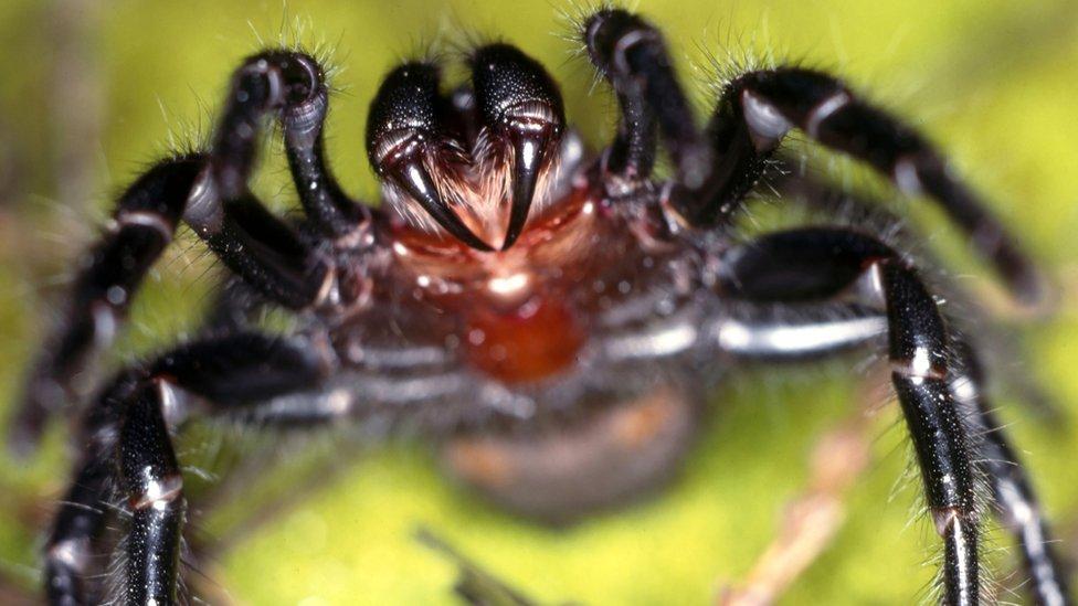 Araña australiana