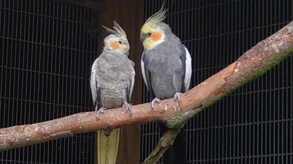 Cockatiels sitting on a branch