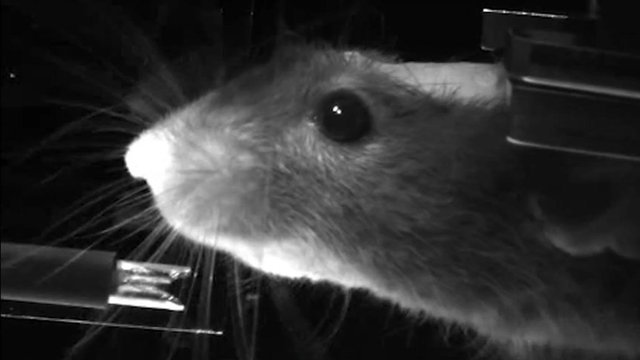 A mouse in a virtual reality system