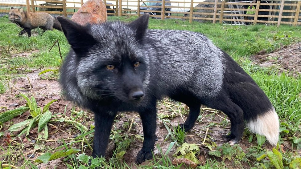 Wilf the black fox back at his home in Somerset