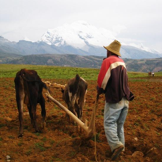 Agricultor con un arado tirado por bueyes en Copa