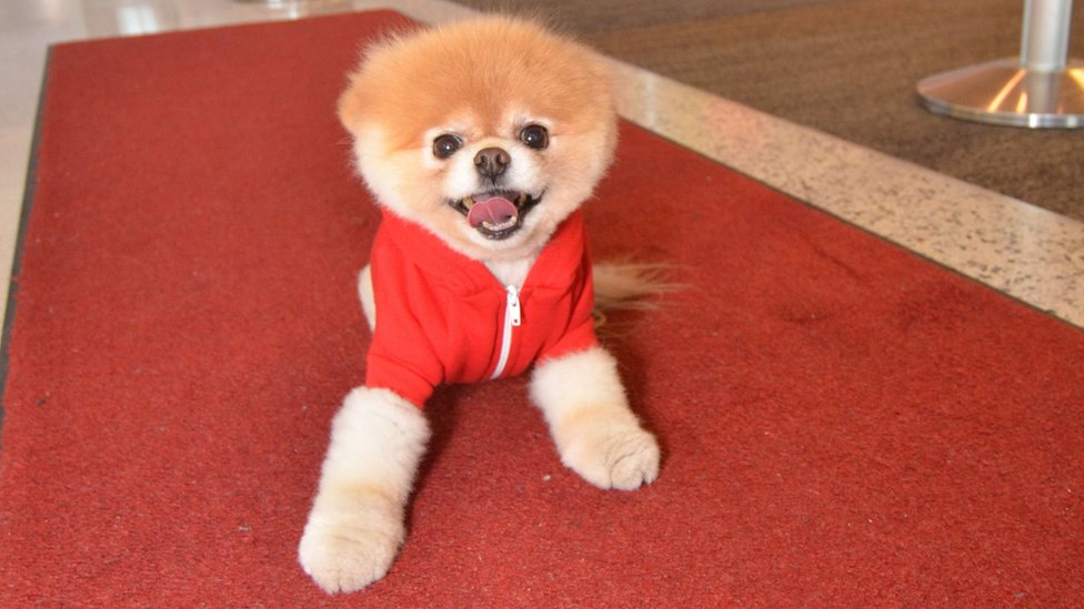 Boo the Pomeranian dog dies 'from a broken heart'