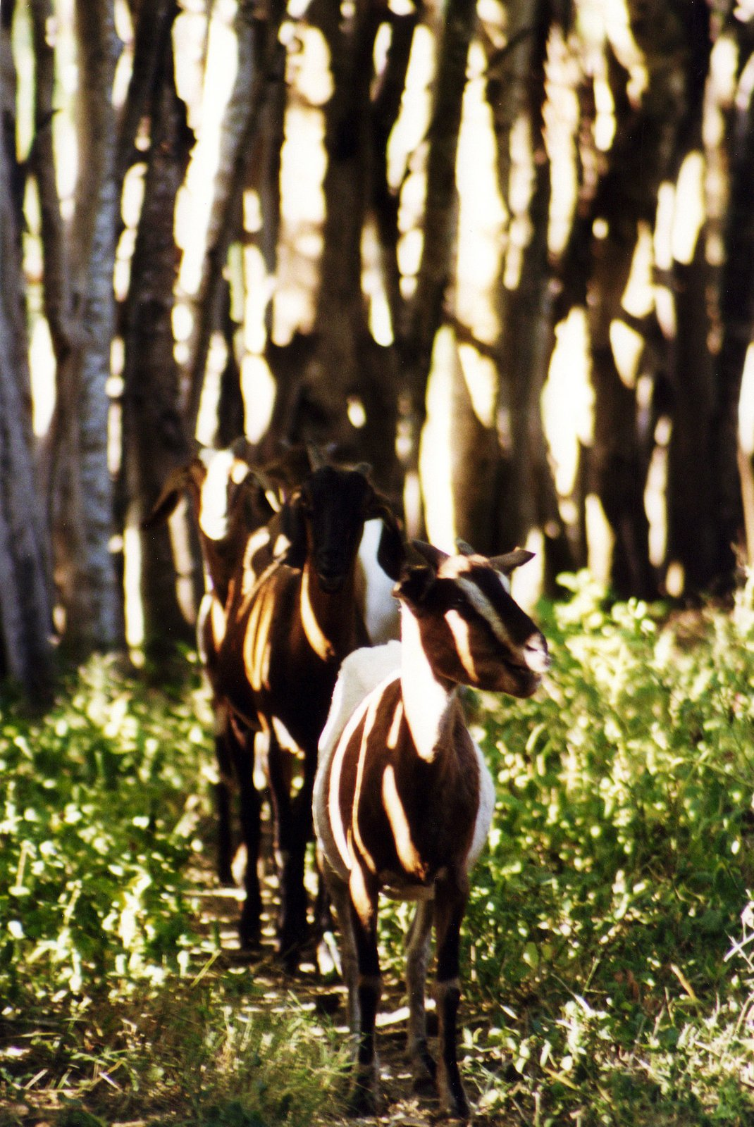 Goats and tree shadows