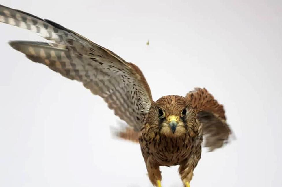 ...i rezidentna ptica grabljivica