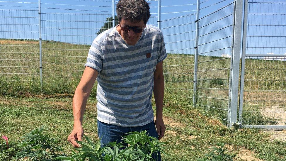 Markus Ldi inspects a cannabis plant