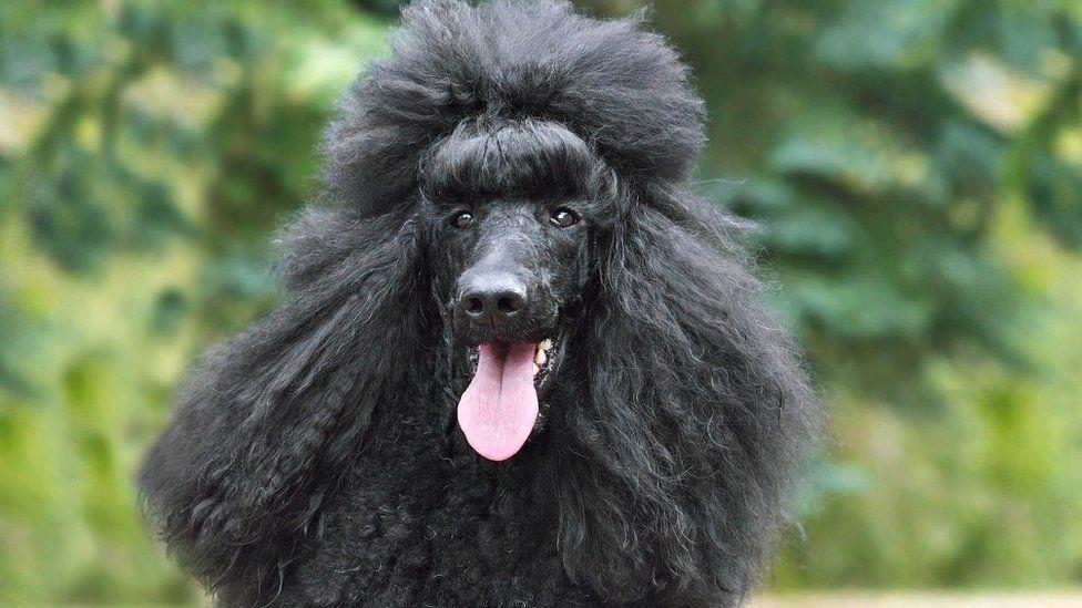 كلب من فصيلة بودل