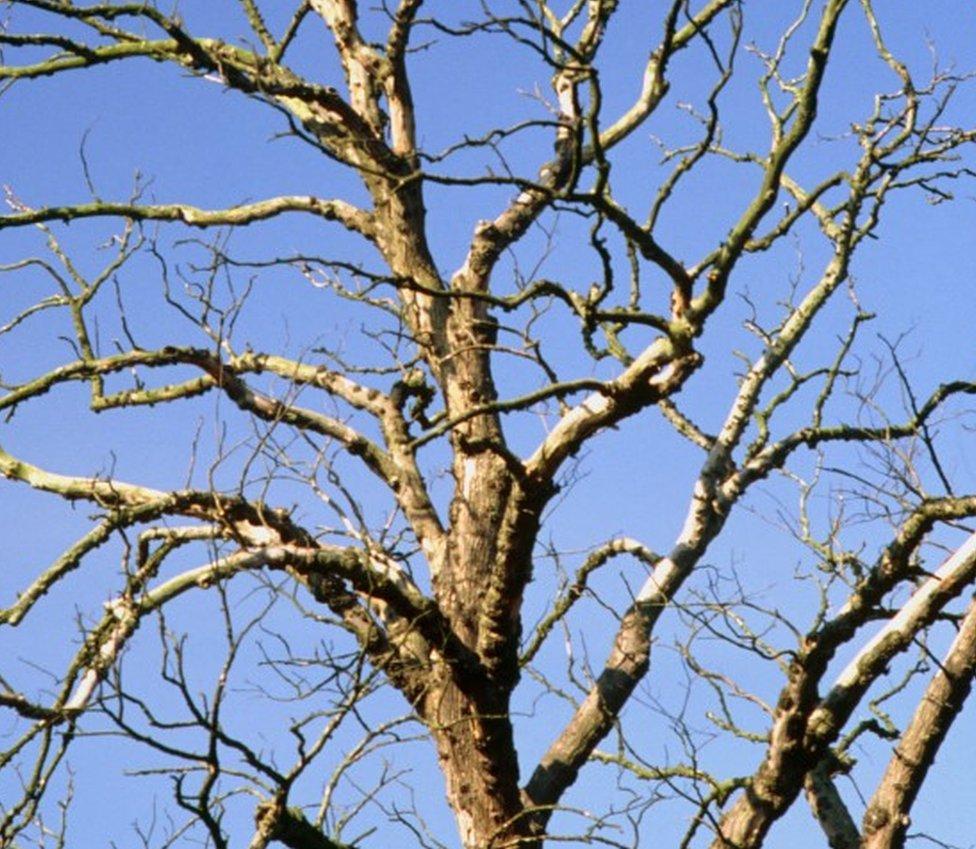 Tree affected by Dutch elm disease