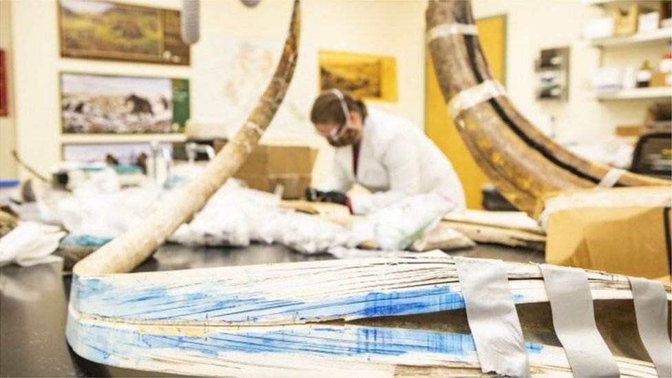 Fósiles de mamut en un laboratorio