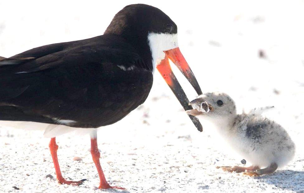 Black skimmer bird and chick on Florida beach