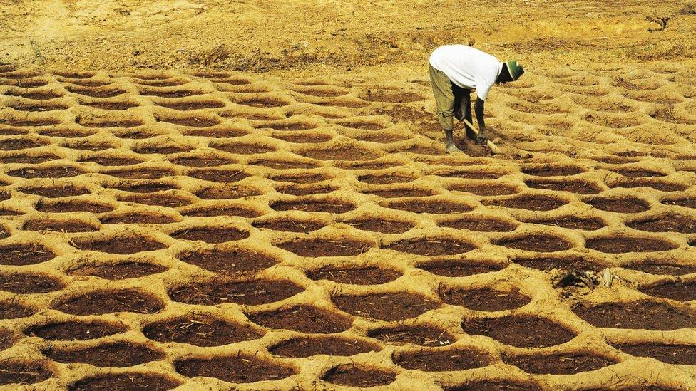 Un agricultor practicando una antigua forma de cultivo en Mali.