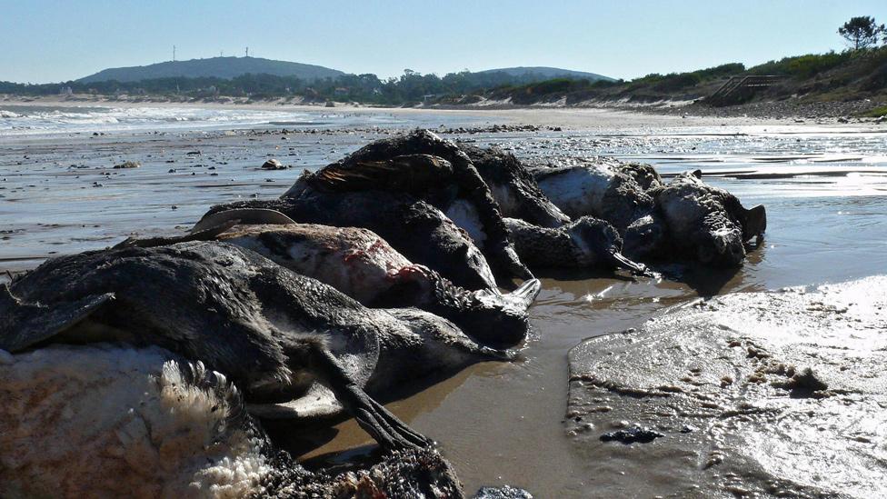 Pingüinos muertos en la costa de Punta Colorada en el departamento de Maldonando, en Uruguay