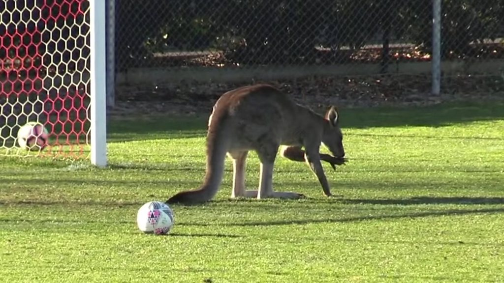 The new Roo-ney? Pitch-invading kangaroo halts Australia football game