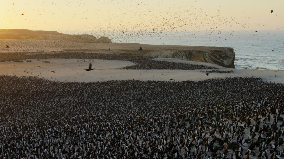 Colonia de pingüinos en Paracas, Perú.