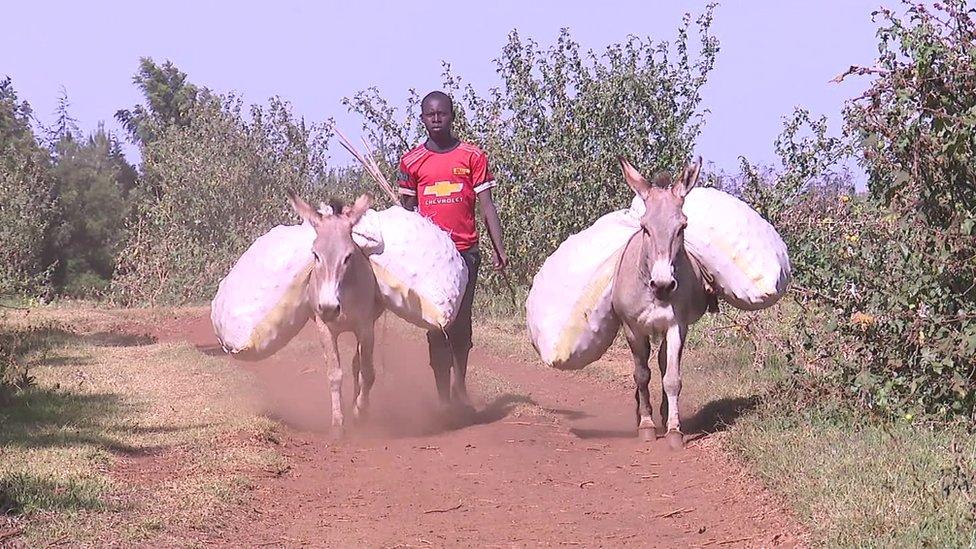 Un joven con dos burros de carga
