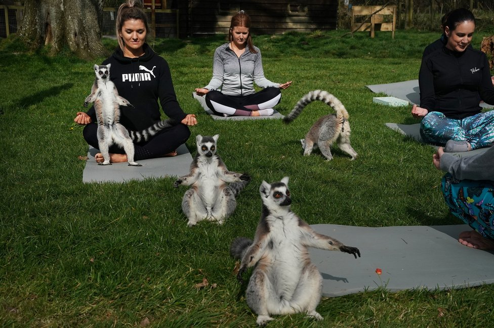 Lemuri rade jogu