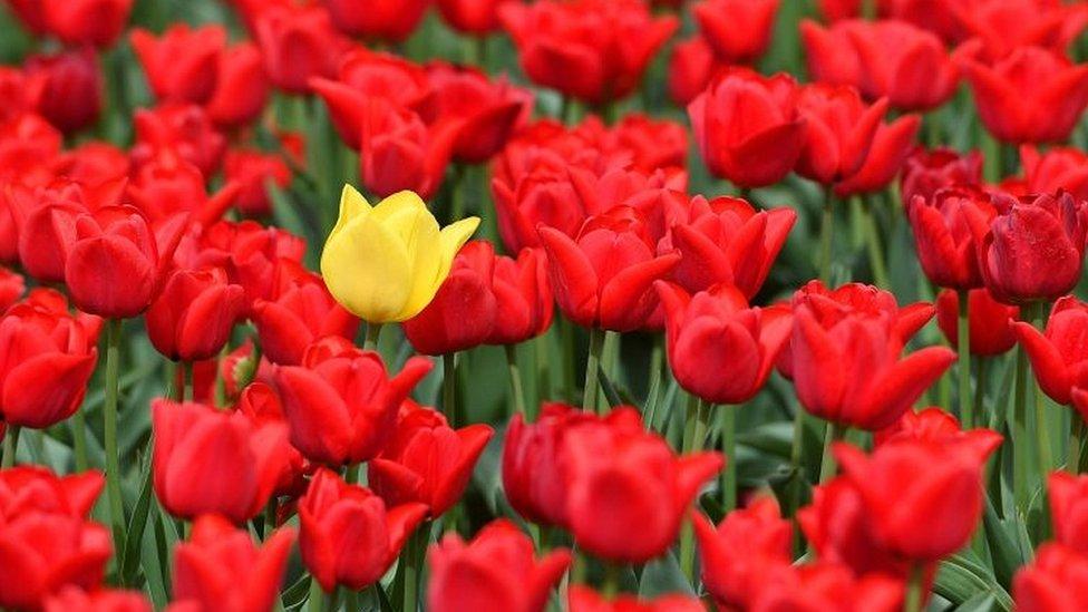 La profesora de historia europea temprana Anne Goldgar sostiene que el interés por los tulipanes no tuvo que ver con la especulación financiera.