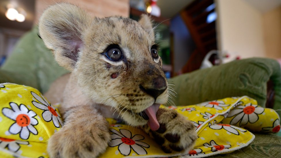 A two-month old lion cub called Astra pictured at the Sadgorod Zoo in 2017