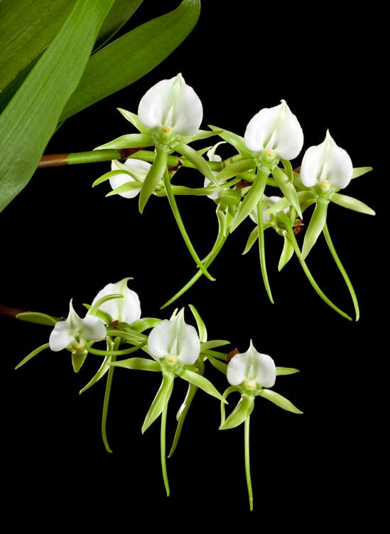 Orquídea de Darwin