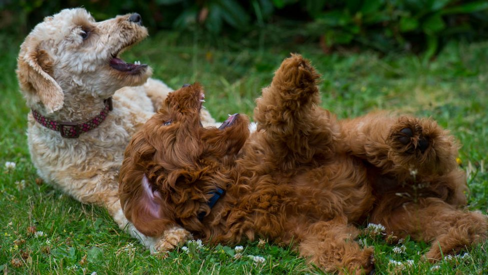 Labradoodles having fun on the grass