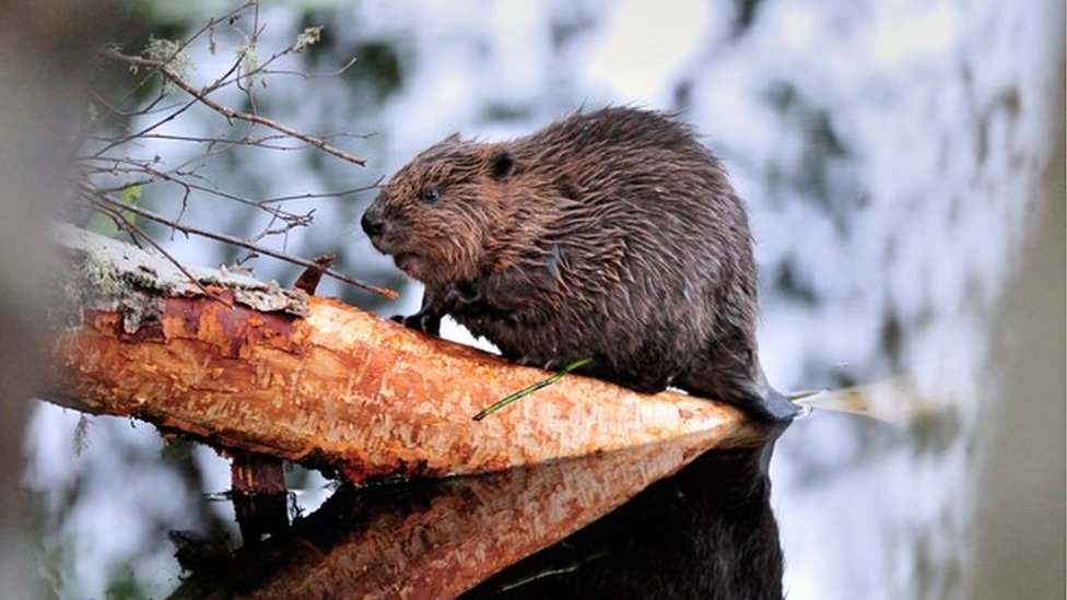 Rising beaver numbers in Tayside worry farmers