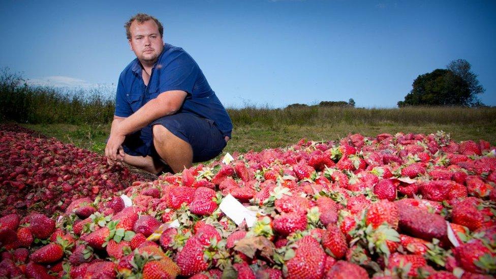 Productor australiano de fresas