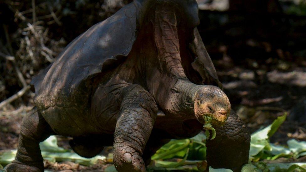 Dijego se navodno pario sa više hiljada džinovskih kornjača
