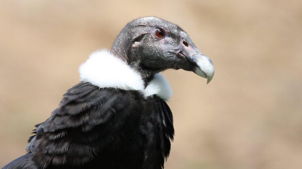 O condor andino