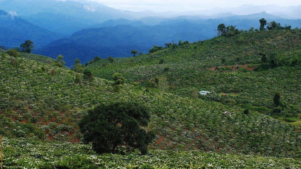 Coffee plantation in blossom in Vietnam