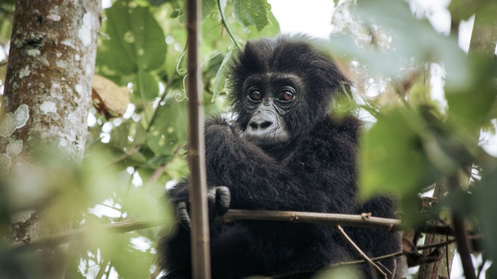 A gorilla in a national park in DR Congo