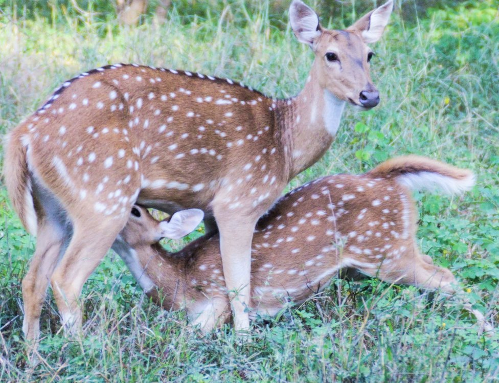 A smaller deer hides underneath a larger one