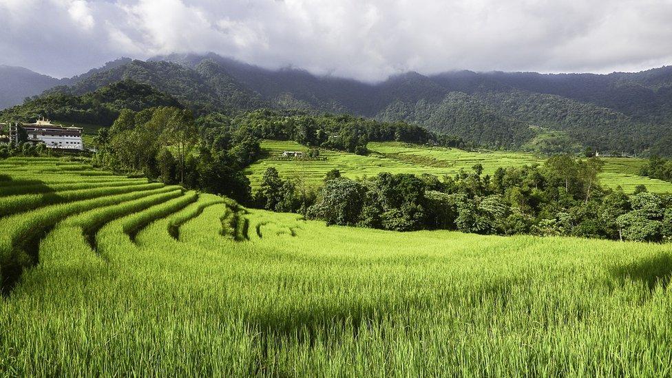 Arroz cultivado orgánicamente en Martam, en el este de Sikkim